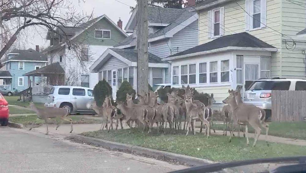 Rebaño de ciervos