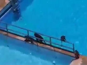 Los monos toman una piscina de Bombay