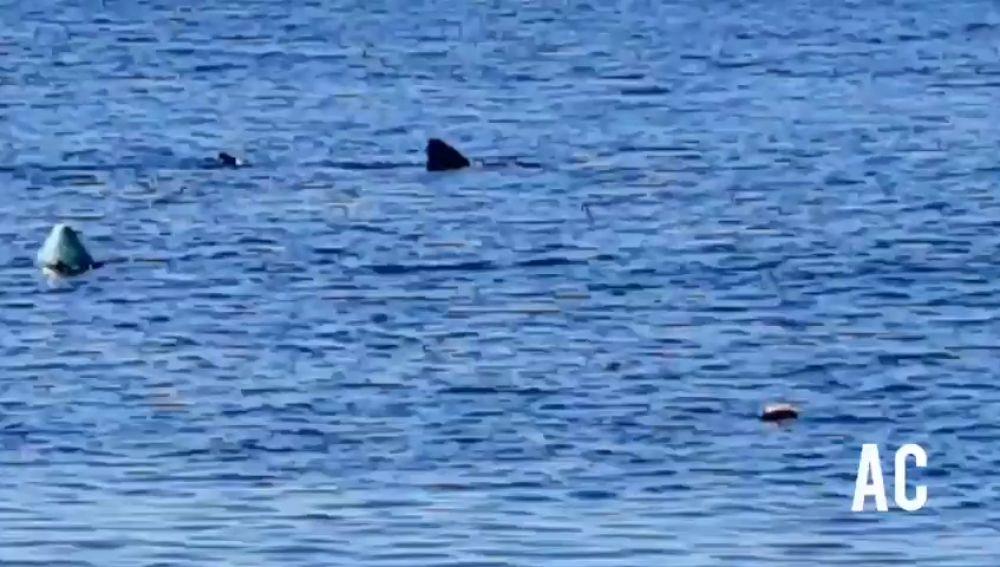 Un tiburón nada frente a la orilla de la playa granadina de Calahonda aprovechando el confinamiento por coronavirus