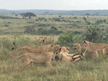 Leonas peleando con león