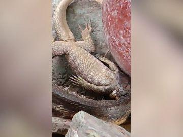 Serpiente devorando un lagarto