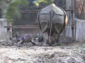 Bebé rinoceronte