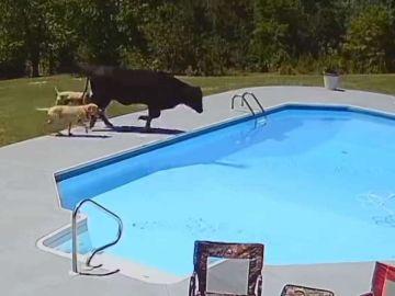Vaca atascada en la piscina