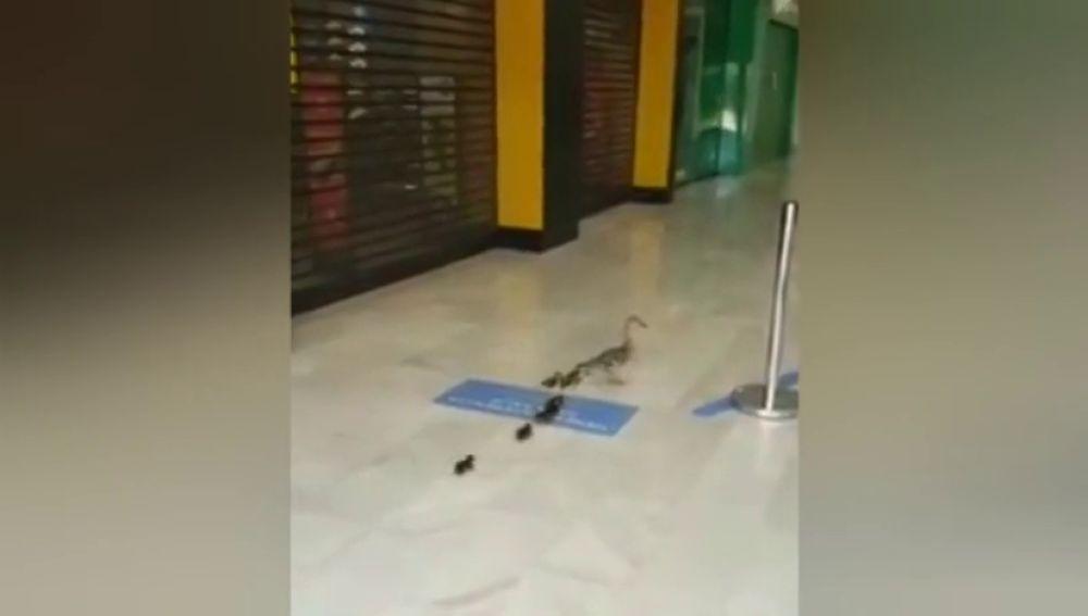 Una familia de patos toma un centro comercial de Cádiz vacío por el confinamiento por coronavirus