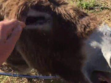 Baldomera, la burra que llora al reencontrarse con su dueño curado de coronavirus
