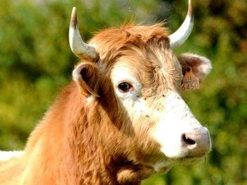 Foto de archivo de una vaca betizu