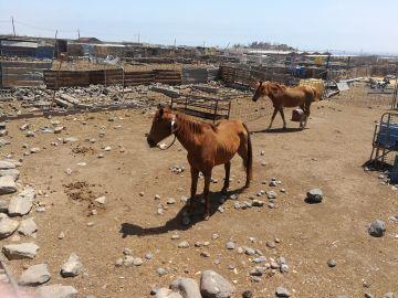 Maltrato animal. Explotación ganadera en Ingenio, Gran Canaria