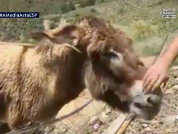 El fenómeno viral de la burra Baldomera llega a Pakistán, Japón y Australia