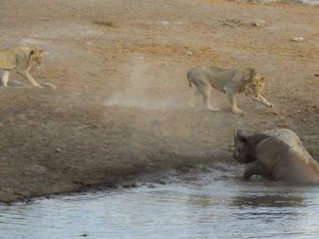 Rinoceronte contra leones