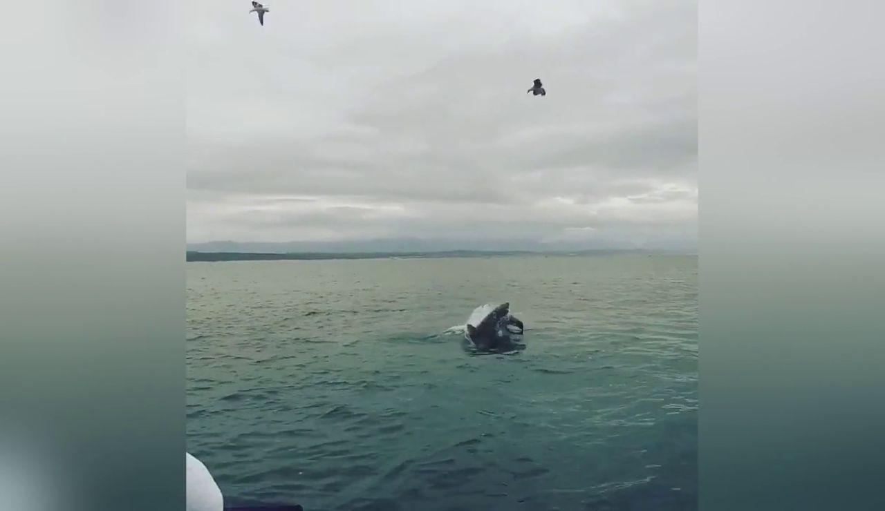 Tiburón devora una foca
