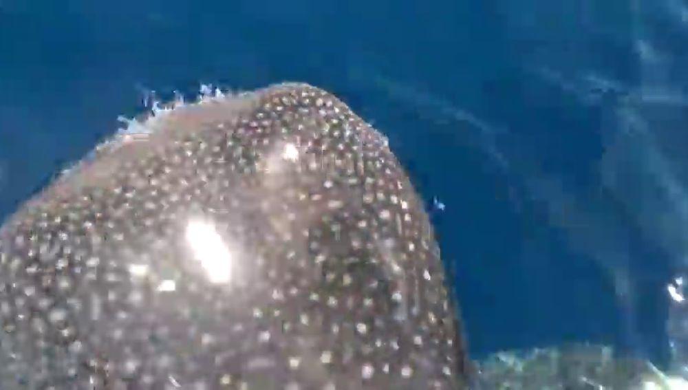Avistan un tiburón ballena, el pez más grande del planeta, en aguas de La Gomera
