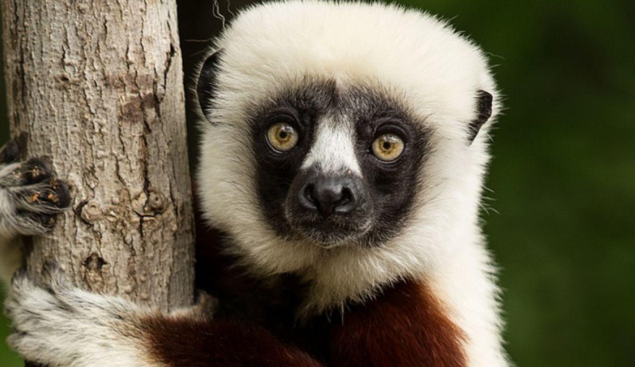 Lista Roja de animales en extinción. Lemur