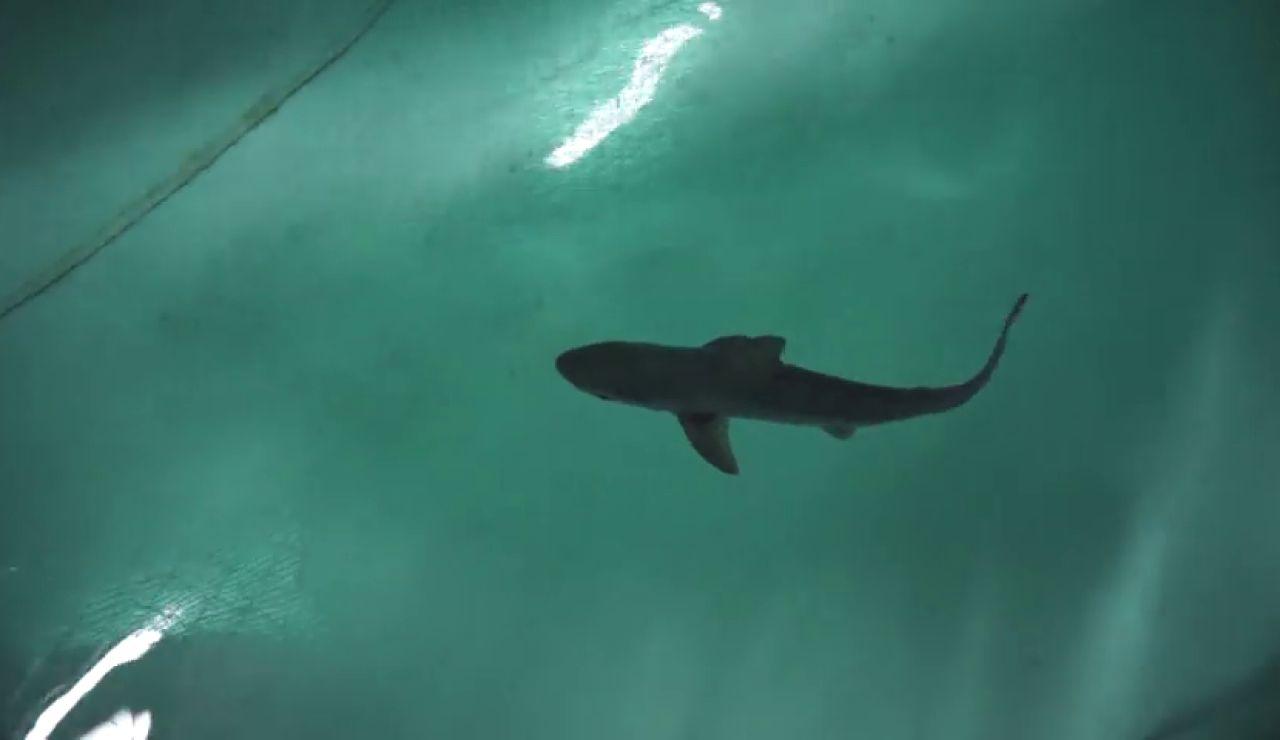 Nacen por primera vez en el Oceanogràfic ocho tiburones grises