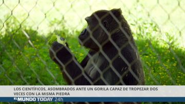 Los científicos asombrados ante un gorila capaz de tropezar dos veces con la misma piedra