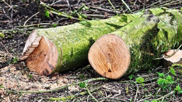 Tronco árbol talado