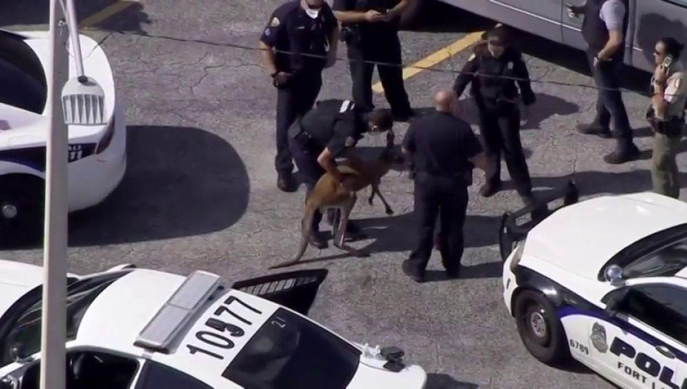 Aparece un canguro corriendo y asustado por las calles de Miami