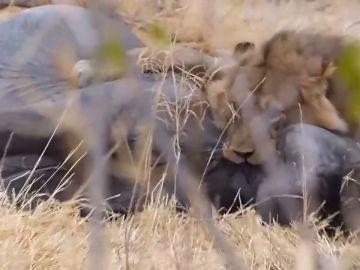 Un león devora a un elefante en Botswana