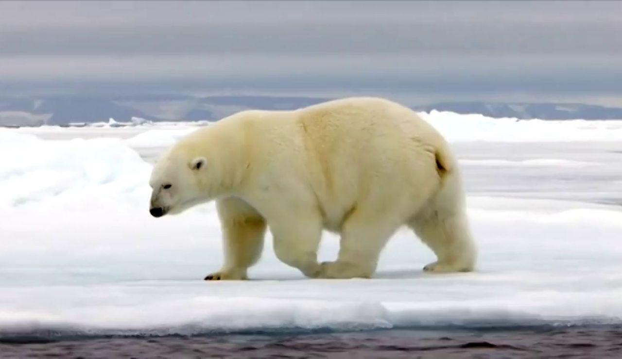 Un estudio advierte de la extinción casi total de los osos polares para 2100