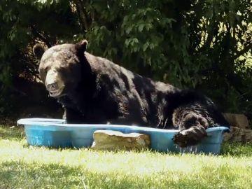 Se encuentra a un oso refrescándose en la piscina para niños
