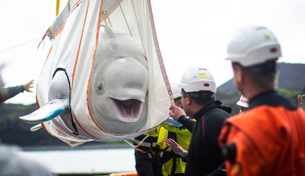 La sonrisa de una beluga que va a ser liberada tras muchos años en cautiverio