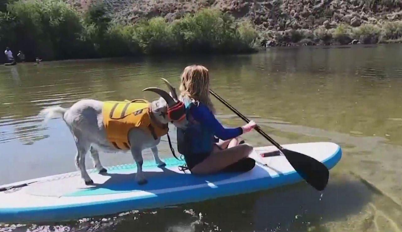 'Mr Mayhem', la cabra que adora hacer paddle surf en Idaho (Estados Unidos)