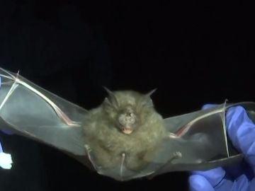 Los cazadores de virus, pieza clave para confirmar si el origen del coronavirus está en los murciélagos