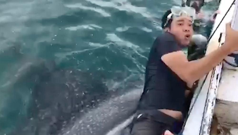 Un tiburón ballena abre su gigante boca para comerse a un buceador