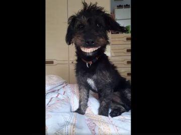 La viral carcajada de una mujer al ver su perro llevando la dentadura de su madre
