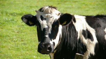 Investigan si la leche inmune de vaca es eficaz frente al coronavirus