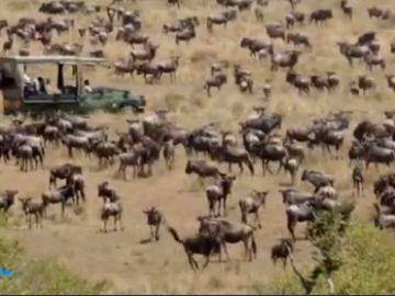Así se produce la increíble migración de alrededor de un millón y medio de ñus en Masái Mara, Kenia