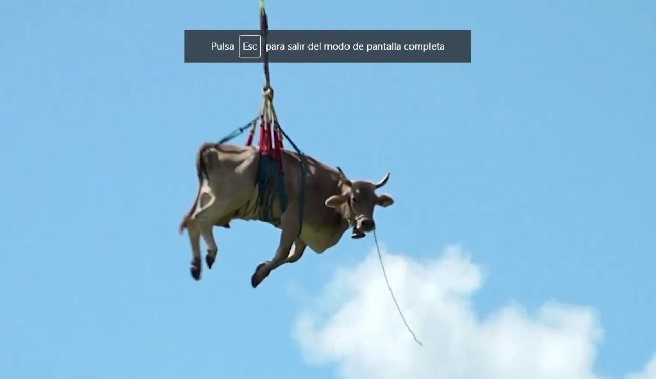 Insólita imagen de una vaca 'volando' en Suiza