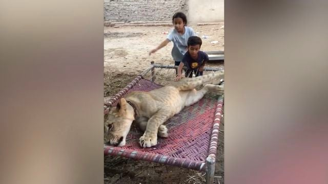 Este hombre vive rodeado de leones