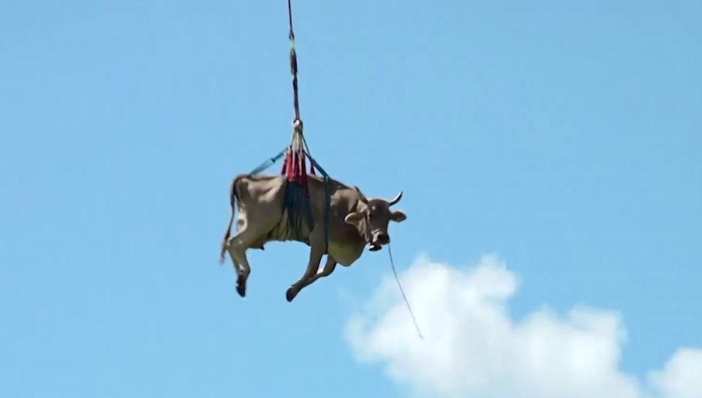Una vaca 'volando' en Suiza