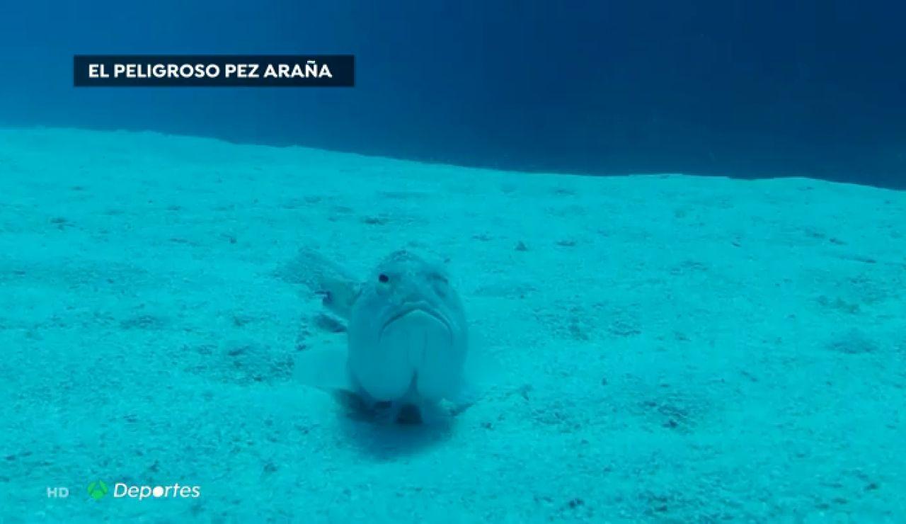 El pez araña, un animal que vive escondido en la arena y que puede ser mortal