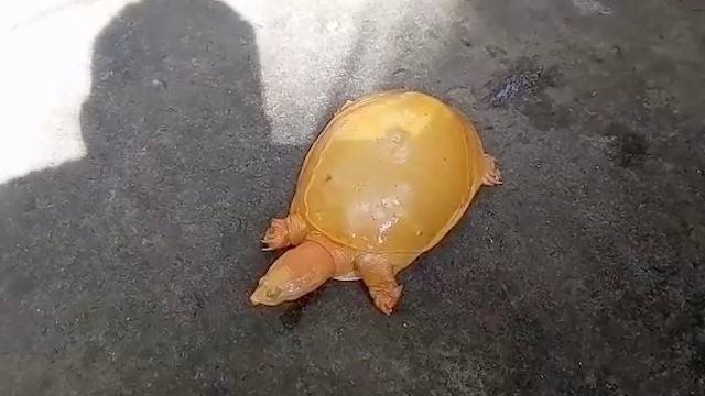 Rescatan una rara tortuga amarilla en el este de la India