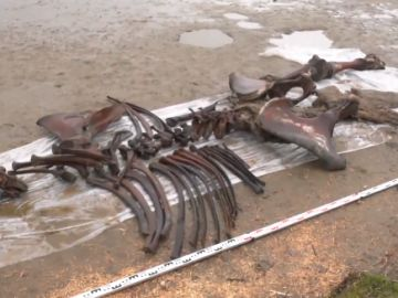 Así son los restos casi intactos de un mamut que ha encontrado un pescador en el lago pechevalavato, Rusia