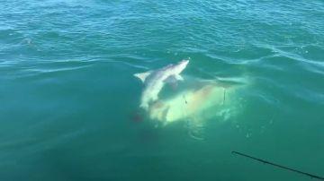 Un tiburón devorando a otro tiburón