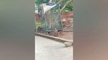 Pelea entre mono y gallo