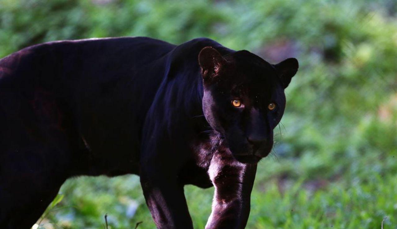 Alertan de la presencia de una pantera negra en Ventas de Huelma (Granada)