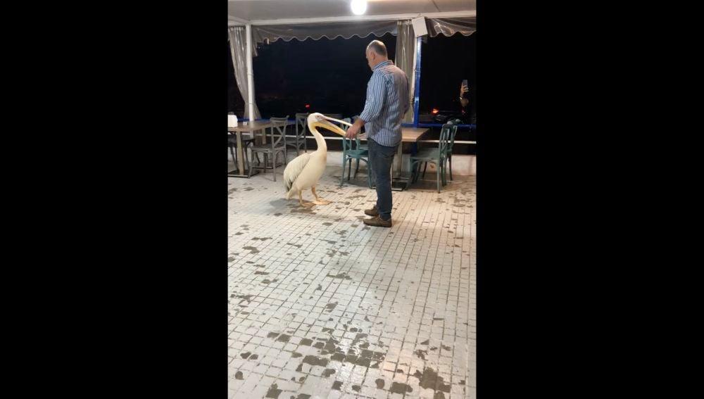 Un pelícano salvaje entraa un restaurante en Beirut yanima a los comensales