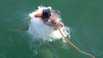 el increíble poder del salto de un gran tiburón blanco