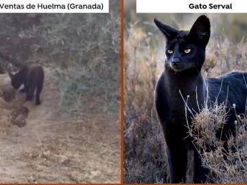 ¿Pantera o gato serval?
