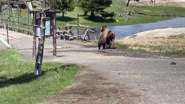 VÍDEO: La lucha mortal entre un oso y un bisonte en Yellowstone