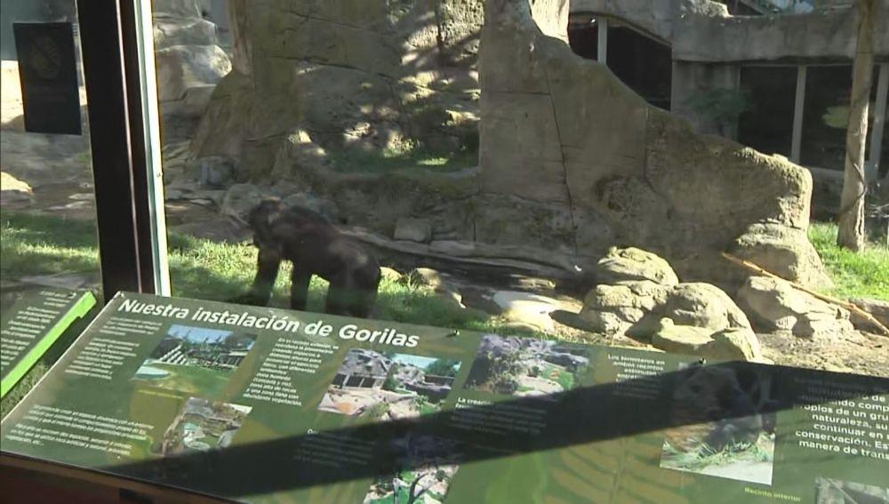 Gorila del Zoo de Madrid