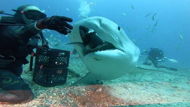 Alimentando a un tiburón