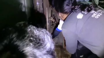 VÍDEO: Encuentran una gigantesca pitón escondida dentro del dormitorio de una mujer en Tailandia