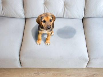 Pipí en el sofá