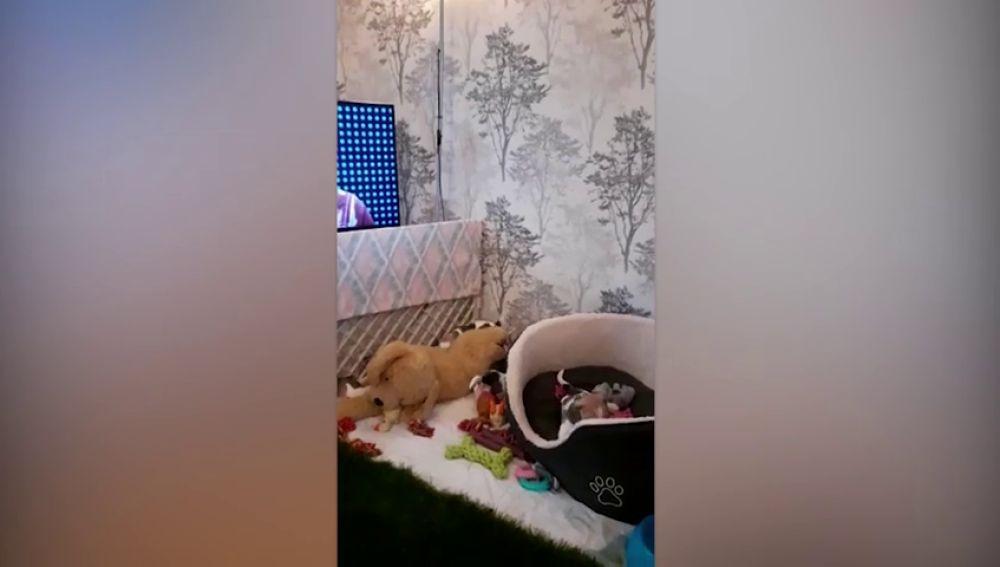 VÍDEO: Siete cachorros huerfanos juegan con peluches tras la muerte de su madre