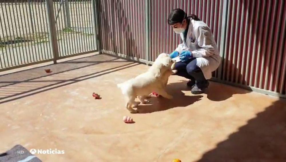 A los perros guía también les causa angustia el confinamiento por el coronavirus