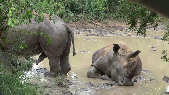Rinoceronte apareándose